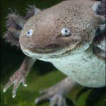 Саламандра поделилась тайной регенерации?